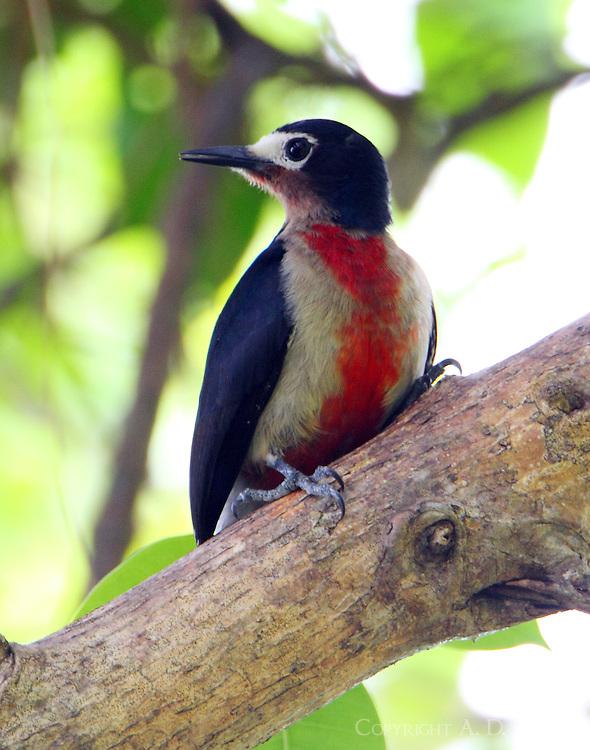 Female Puerto Rican woodpecker