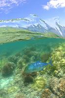 bluefin trevally, 'omilu, Caranx melampygus, Maro Reef, Papahanaumokuakea Marine National Monument, Northwestern Hawaiian Islands, Hawaii, USA, Pacific Ocean