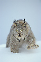 Canadian Lynx (Lynx canadensis).  North America.  Winter.  Notice the large size of its paws which act like snowshoes on the soft snow.