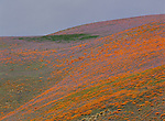 Vibrant orange and purple wildflowers dot the hillside in the Tehachapi Mountains in California.