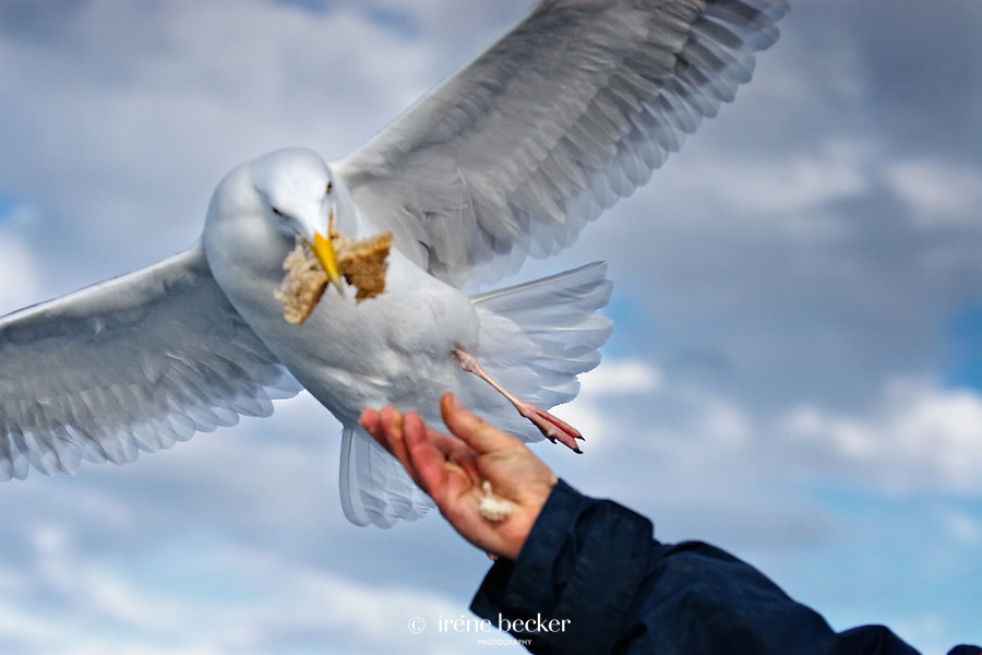 Herring gull at Lauvsnes, Norway