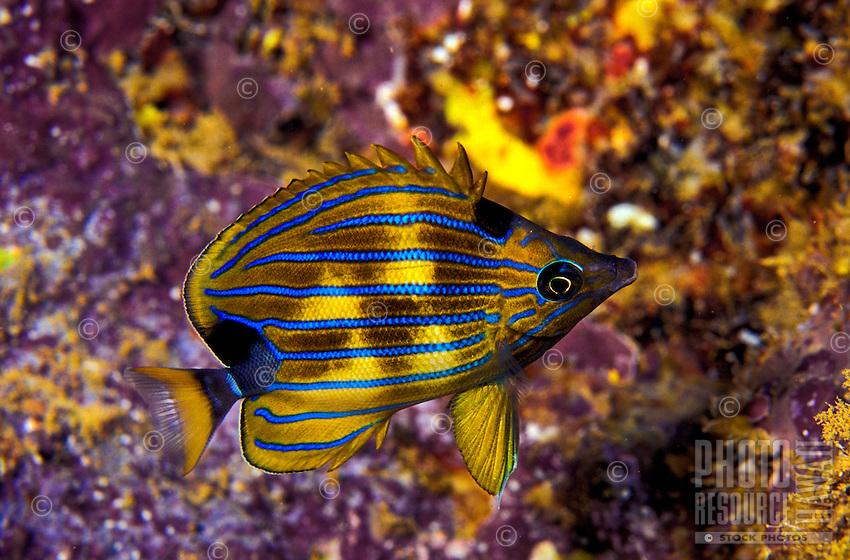 Bluestripe Butterflyfish ( Chaetodon fremblii) showing nocturnal color patterns.  Hawaiian name  is Kikakapu.