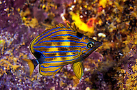Bluestripe Butterflyfish ( Chaetodon fremblii) showing nocturnal color patterns.  Hawaiian name  is Kikakapu.