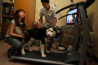 Owners of big dogs (over 35cm) that live within the sixth ring in Beijing have an illegal pet.  So many have purchased treadmills after the crackdown last July when pets were pulled out of the hands of their crying owners.  Some dogs were beaten to death in front of them.  A group had a protest about it in front of the zoo because there was suspicion that some of the dogs were being fed to the tigers.  20 of them were arrested.  The dog on the treadmill is a Siberian Husky and its baby was given to another owner and was confiscated and killed.  Even shows on TV that have a positive attitude toward pets are banned... the activists say. Beijing police are starting another crackdown within the 6th ring from May 1st until June 30, 2007.  So these folks are starting to train their pet on their friends treadmill. ..The activists say dog owners tried to take policemen to dinner and bribe them but it did not work.  They will send undercover photos of the warehouse where all the pets were taken... they say the policemen sold the nice animals and sent the rest to the zoo...