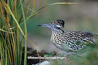 01107-00314 Greater Roadrunner (Geococcyx californianus)  Starr Co. TX