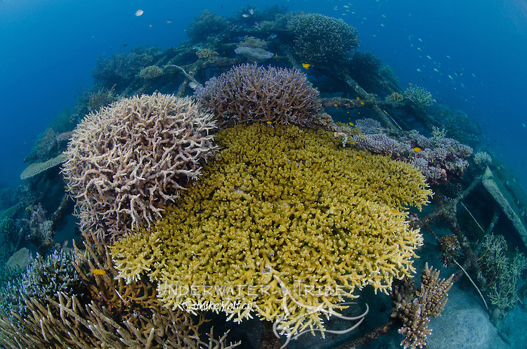 Healthy branching coral, Acropora sp., growing on a successful artificial reef structure, Biorock Artificial Reef project, Pemuteran, North Bali, Indonesia, Pacific Ocean