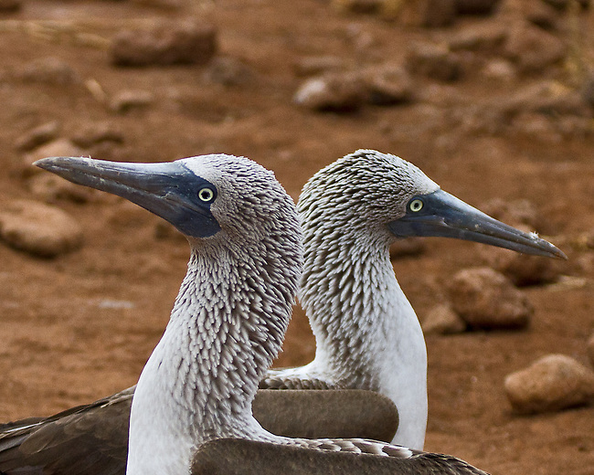 As a male and female Blue-footed Booby dance past each other their heads are in profile, each looking in a different direction.