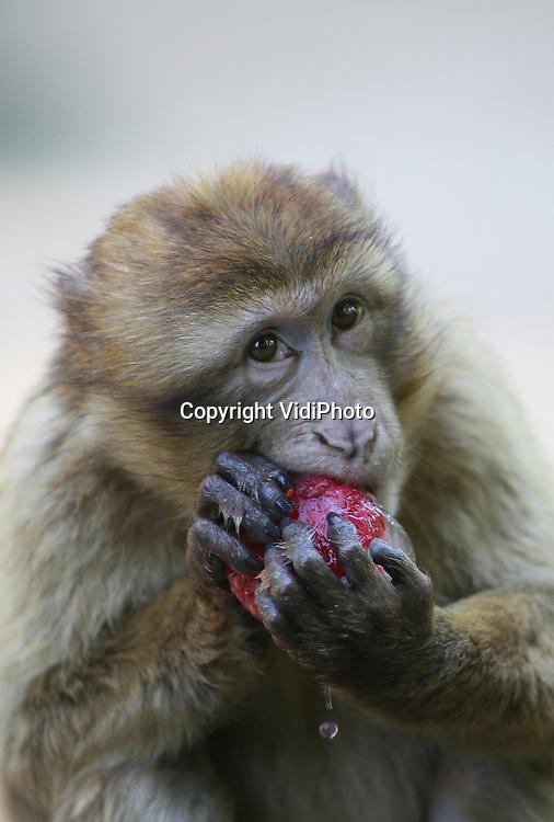 Foto: VidiPhoto<br /> <br /> RHENEN - In aanloop naar een snikheet weekend, kregen de orang oetans en berberapen van Ouwehands Dierenpark vrijdag bij temperaturen ruim boven de 20 graden Celsius ijsjes om af te koelen. Vooral orangs zijn erg gevoelig voor temperatuurverschillen. De Rhenense dierentuin heeft de ijskast inmiddels vol liggen met gezonde ijsjes om de warmteperiode voor de dieren te kunnen overbruggen. Ze dienen tevens als verrijking. Het lekkers zit namelijk in een beker en moet dus eerst 'afgepeld' worden. In de ijsjes bevinden zich groente en fruit, vermengd met bietensap.