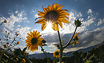 Sunflowers in the garden in Gardnerville, Nev., in Saturday, Aug. 26, 2017. <br />