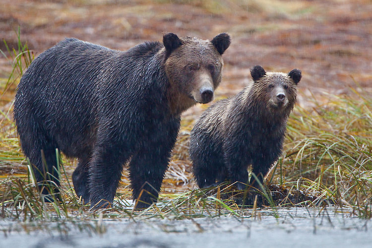 Grizzly Sow and her Cub standing in the driving rain