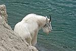 Mountain Goat,  oreamnus americanus