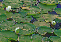 Lily Pads and blooms in Beaver Marsh, Cuyahoga National Park, Summit County, Ohio