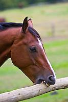 Dutch warmblood horse crib biting, Oxfordshire, Great Britain