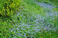 Forget-me-not (Myosotis sp.)<br />