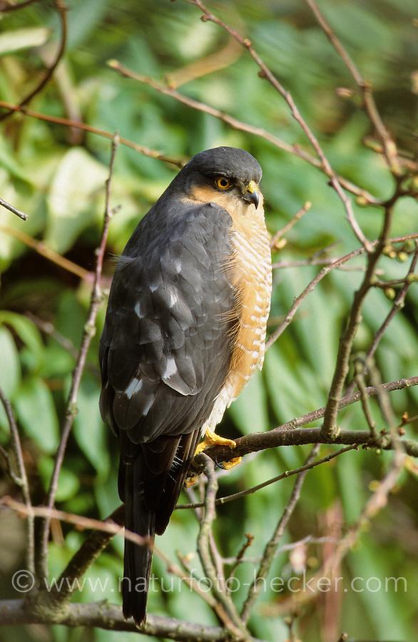 Sperber, Männchen, Accipiter nisus, northern sparrowhawk, sparrow hawk