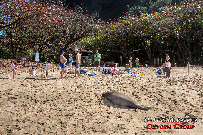 Monk Seal, Ke'e Beach