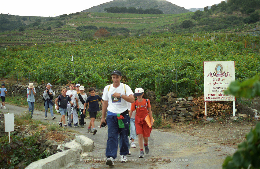 A class of school children on excursion in the vineyard to harvest. Cave cooperative Cellier des Dominicains, Collioure. Roussillon. France. Europe.