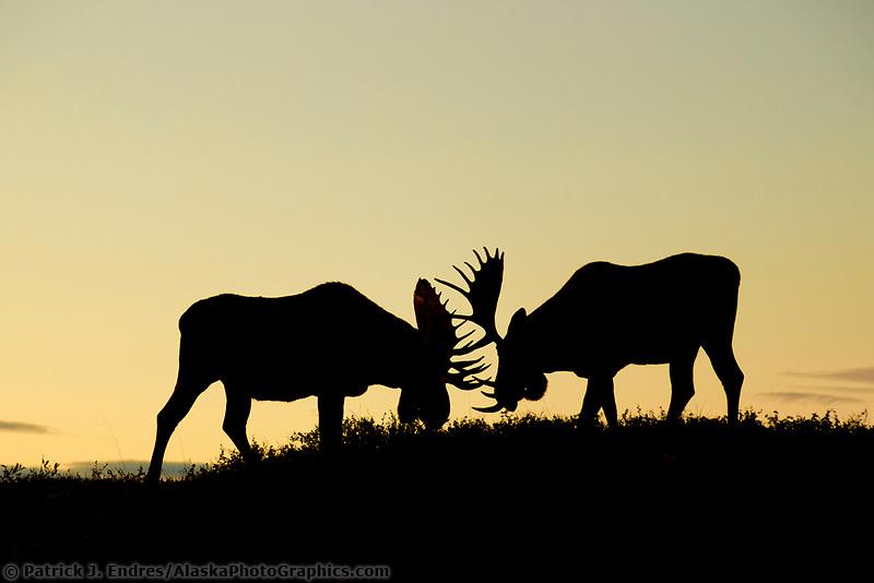Bull moose spar front of Mt. Denali, Denali National Park, Alaska.