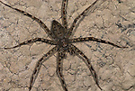 Huntsman Spider, Family Heteropodidae, Iquitos, Peru, jungle, amazon, flattened in appearance ability to hide under rocks and stones, banded legs and body, .South America....
