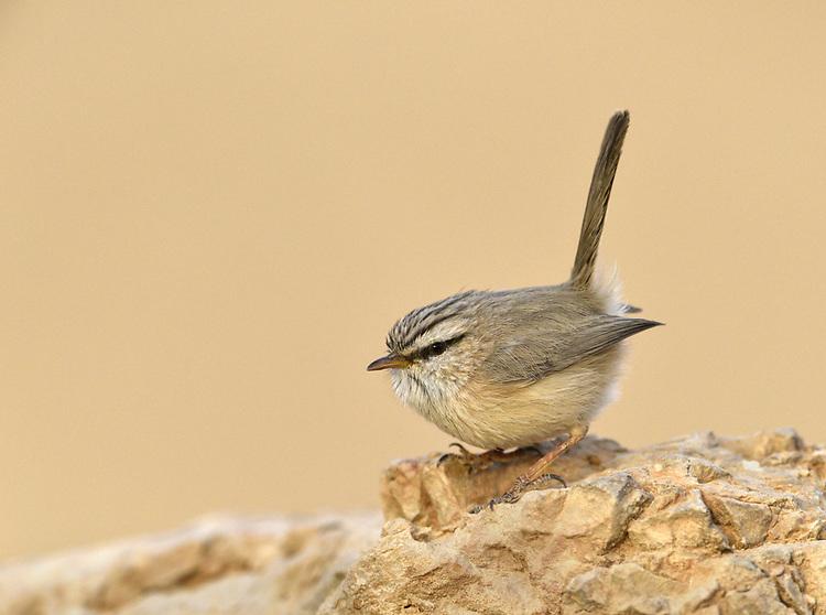 Streaked Scrub Warbler - Scotocerca inquieta