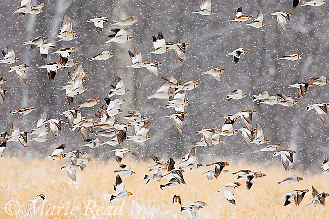 Snow Buntings (Plectrophenax nivalis) flock in flight in a snowstorm, New York, USA