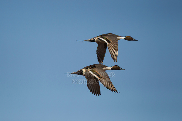 Northern Pintail (Anas acuta) adults flying, Bosque del Apache National Wildlife Refuge , New Mexico, USA