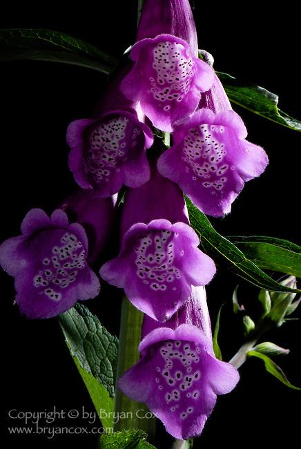 Common Foxglove (Digitalis purpurea), Coast mountain range, Oregon
