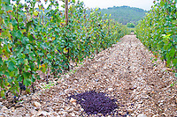 Domaine Haut-Lirou in St Jean de Cuculles. Pic St Loup. Languedoc. Terroir soil. France. Europe. Vineyard. Wine press leftovers marc put as fertilizer in the vineyard. Soil with stones rocks.
