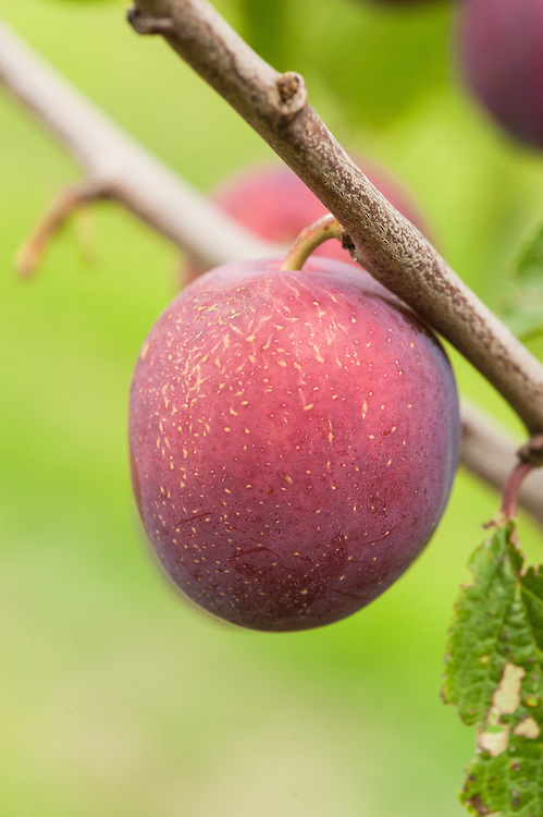Plum 'Anna Spath', early September. A late dessert plum with red-purple fruits that develop a slight blue flush. Originally from Germany.