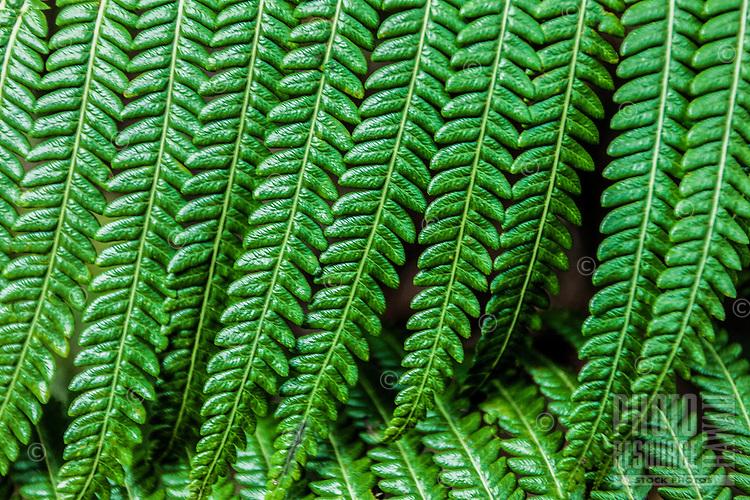 Close-up of a fern at Hawai'i Volcanoes National Park, Big Island.
