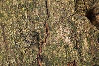 Liguster-Rindeneule, Ligusterrindeneule, Ligustereule, Liguster-Eule, Craniophora ligustri, coronet, Eulenfalter, Noctuidae, noctuid moths, noctuid moth