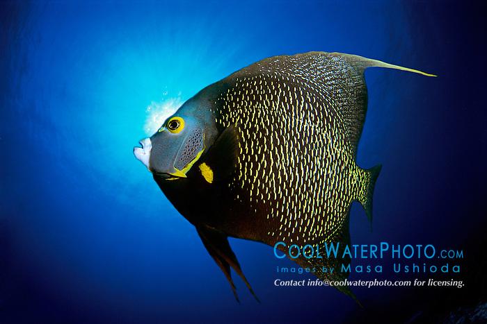 DIGITAL COMPOSITE, French angelfish, Pomacanthus paru, The Ridges, Islamorada, Florida Keys National Marine Sanctuary, Atlantic Ocean