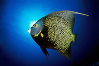 DIGITAL COMPOSITE, French angelfish, Pomacanthus paru, The Ridges, Islamorada, Florida Keys National Marine Sanctuary, Atlantic Ocean