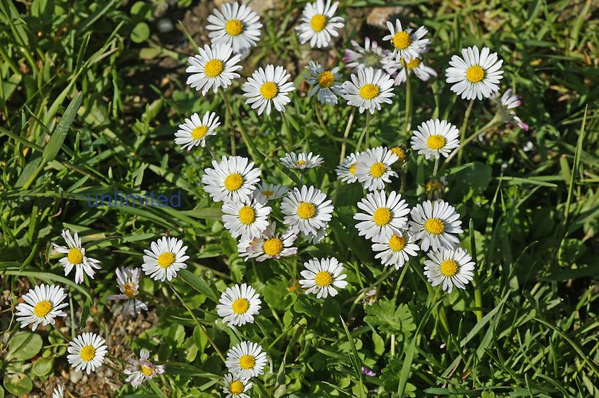 Lawn Daisy or English Daisy (Bellis perennis), France.