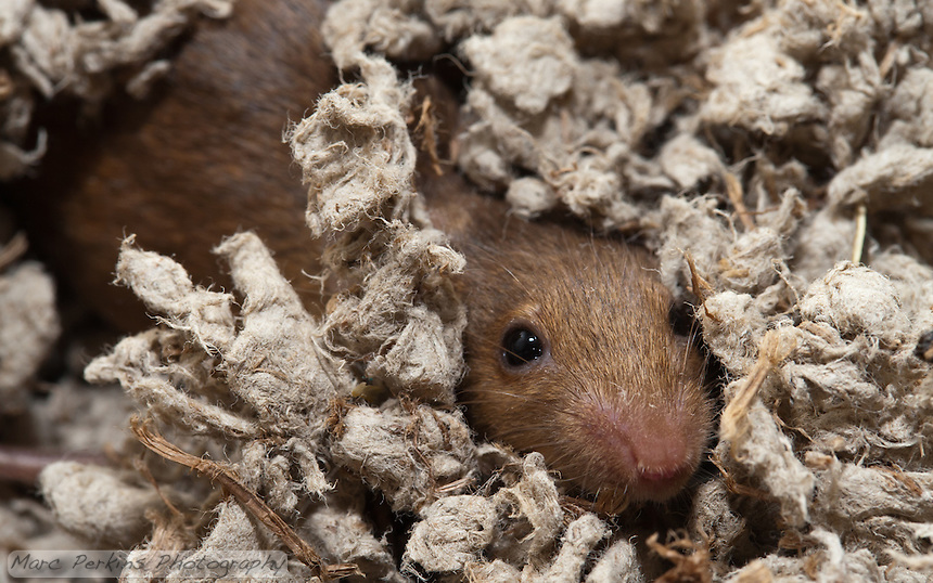 An orange female mouse buries herself in the bedding, poking out just an eye and a nose to scout the surroundings.