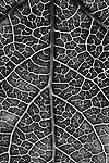 Detail, Sweet Gum leaf  2009