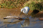 Narcissistic Egret Great Egret Southern California