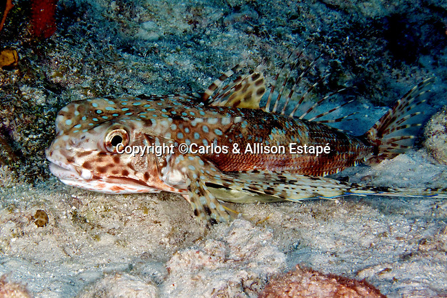 Dactylopterus volitans, Flying gurnard, Florida Keys