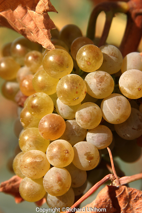 Ripe wine grapes ready for harvest in the Lake Chelan Valley.