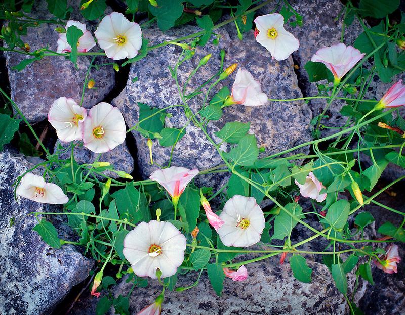 Morning Glory. Hells Canyon National Recreation Area, Oregon.