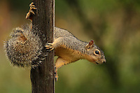 Texas Fox Squirrel on a fence post, in the rain..