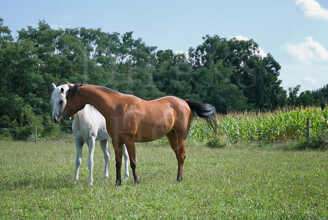 Two Arabian horses in a summer pasture getting to know one another, a bay mare and a white stallion.