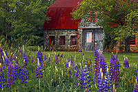 #F37 Old Stone Barn Surrounded By Lupine