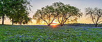 Sunrise over a field of bluebonnets pano through the mesquite tree . You can see the sunset is just coming up over hills along the horizon through the two mesquite trees.  This was a nice field of wildflowers. The Texas bluebonnet or lupine was declare a state flower in 1971 by the Texas legislature.  Also Lady Bird Johnson help in her push to create the Highway beautification Act which is how wildflowers in Texas took root. We can thank Lady Bird for these beautiful spring wildflowers that are across our highways and park and where ever they may be they alway create a beautiful landscape.