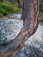 Ponderosa Pine tree struggling to grow in granite rock crack. Lake Tahoe, California/Nevada
