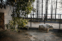 CHINA. Hubei Province. Wuhan. An Asian Yak in an enclosure in Wuhan zoo. In many of China's 'second-tier' cities, away from the modern zoos in the megacities of Beijing and Shanghai, hide a plethora of smaller unknown zoos. In these zoos, what can only be described as animal abuse is subtly taking place in the form of deprivation of light, space, sanitation and social contact with other animals. Living in awful conditions, these animals spend there days entertaining tourists who seem oblivious to the animals' plight and squalid existence. 2008.