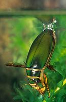Gelbrandkäfer, Gelbrand-Käfer, Gelbrand, Männchen beim Luftholen an der Wasseroberfläche, Dytiscus marginalis, great diving beetle, Schwimmkäfer, Dytiscidae