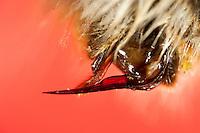 Erdhummel, Hummel, ausgeklappter Stachel am Hinterleib, Giftstachel, Stachel mit Giftapparat, Arbeiterin, Bombus terrestris oder Bombus lucorum