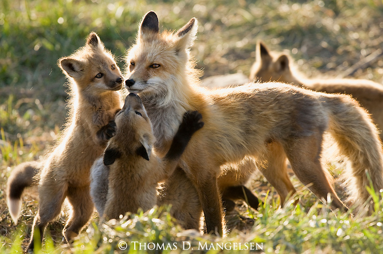 Fox kits greet their mother in the evening light.
