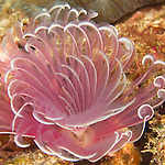Kenting, Taiwan -- An undetermined bispira species, a feather duster worm of the Sabellidae family.